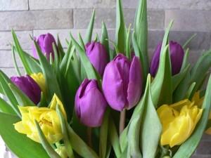 purple, yellow, tulips