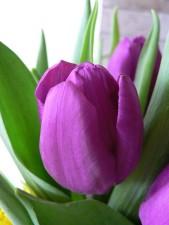 púrpura, tulipán