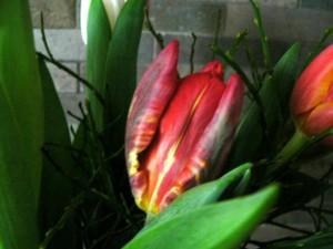 red, yellow, tulip, flower