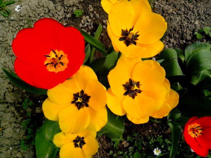 red, tulip, flower, yellow, flowers, garden