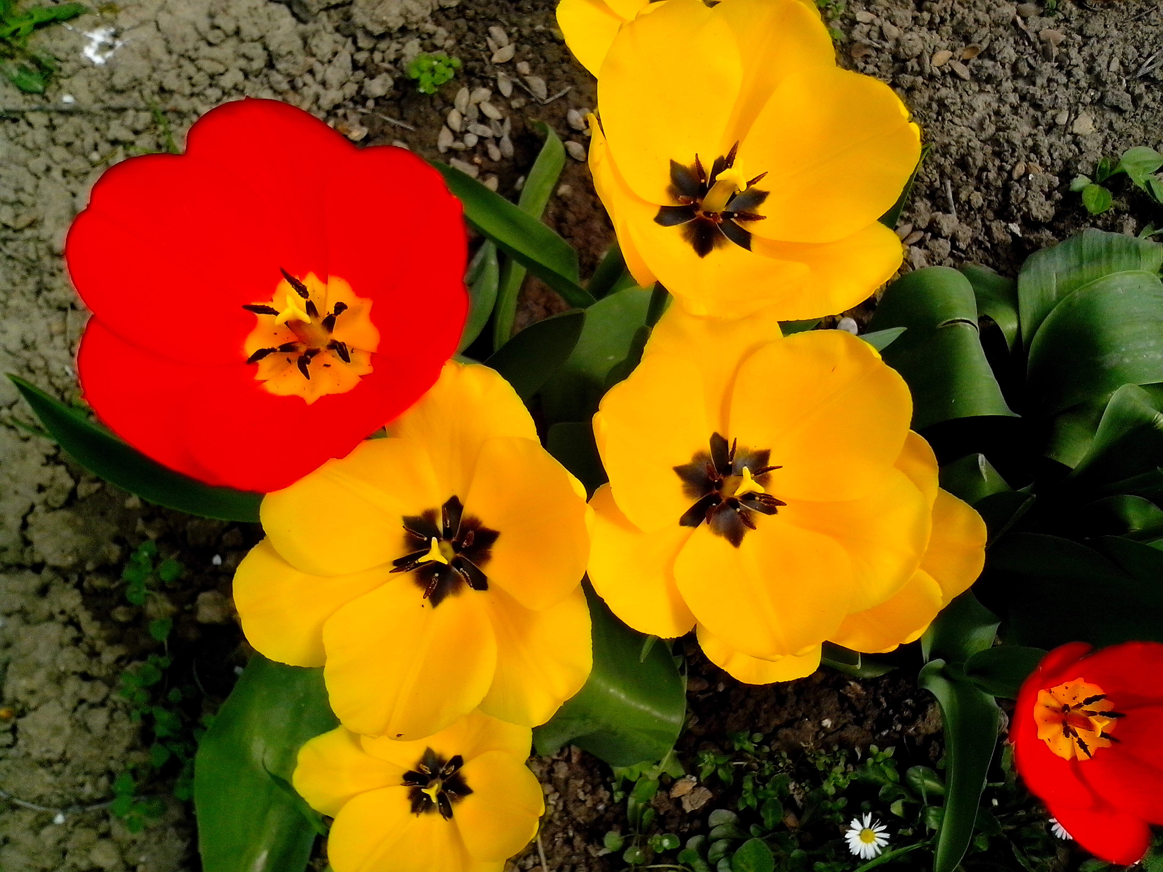 Free photograph; red, tulip, flower, yellow, flowers, garden