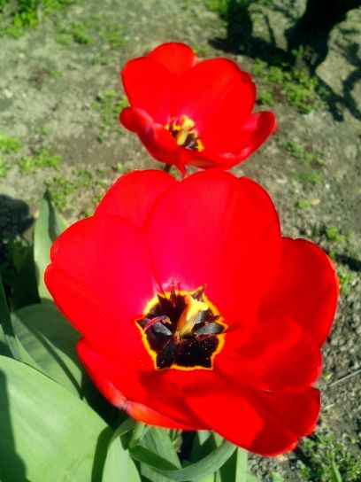 red, tulip, flower, garden