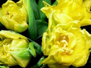 tulip, bulbs