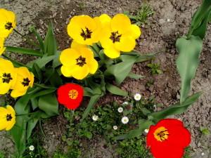 yellow, red, tulips, flowers, garden