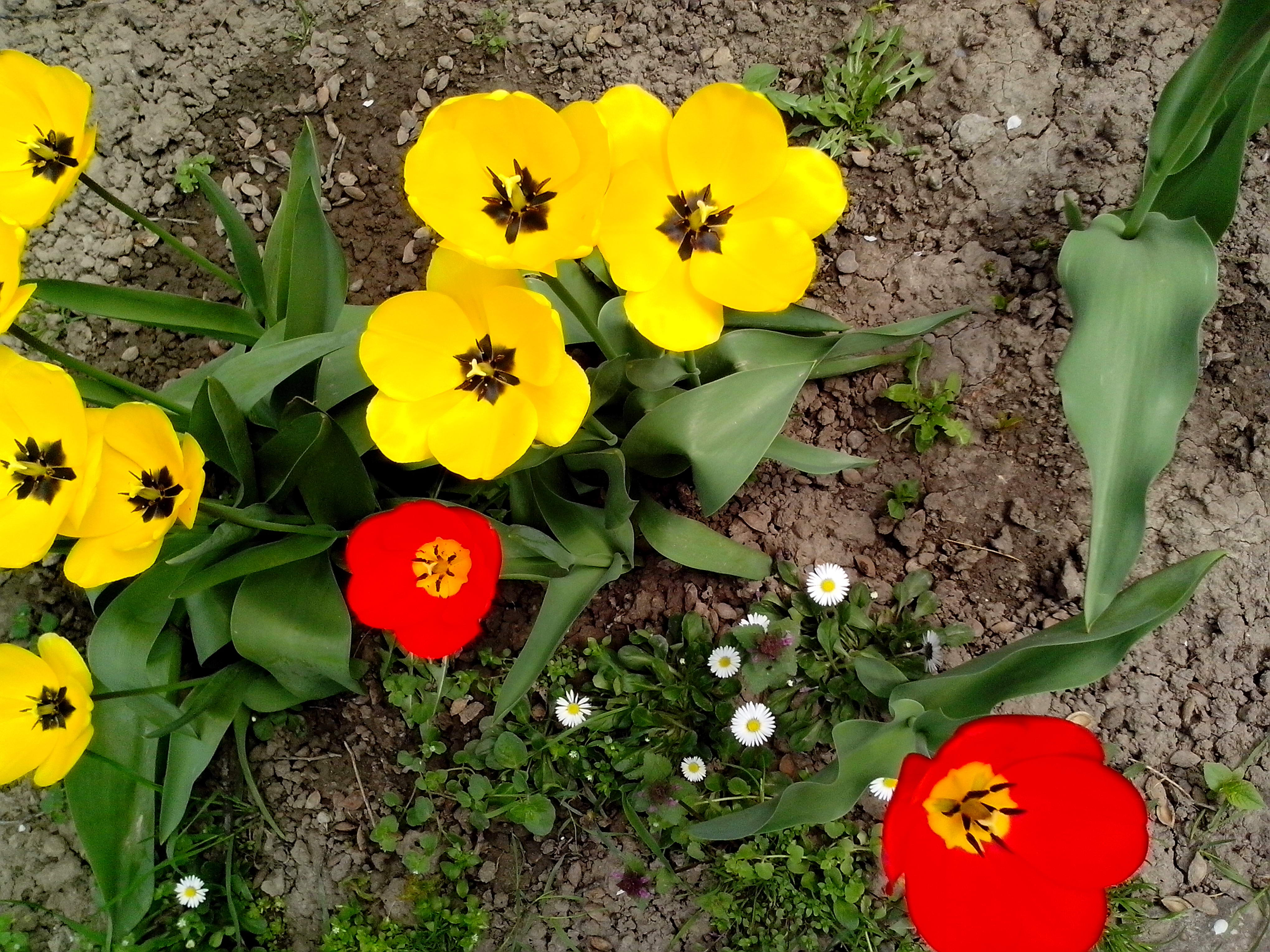Free photograph; yellow, red, tulips, flowers, garden