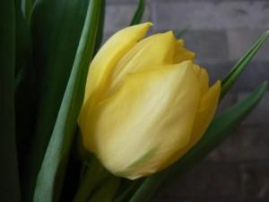 yellow, tulip