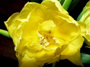 yellow, tulip, summer