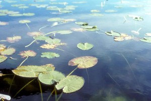 aquatic, environments, plants, water, lilies, leaves