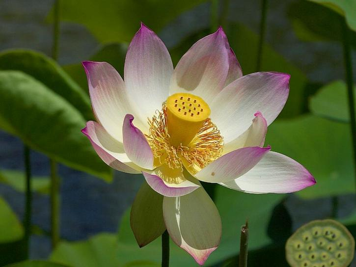 flower, lily, water, beautiful, white flower