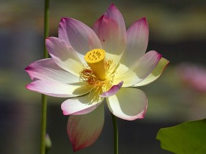 lillies, lilly, lotus, flowers