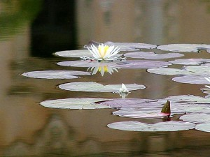 lilly, lillies, ponds, lillypads