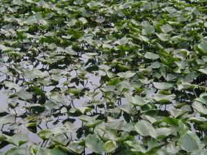 lillypads, étang