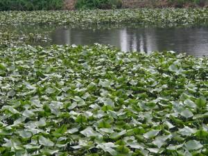 lily pads, pond, flowers, lotus, lake