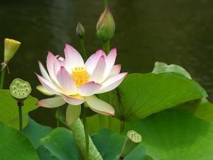 Water lily & lotus