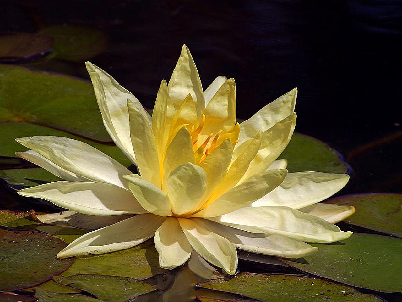 Free Picture Lotus Yellow Flower