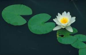 Nymphaea odorata, voňavé, vode, ľalie, kvet