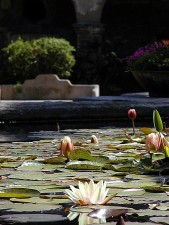 ponds, lillypads, lillies, flowers