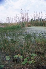 swampy, area, lily, pads, reeds, surrounded, dead, trees