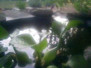 voda, kvapky, voda, lily, ryby, rybník