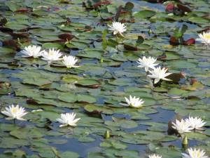 water, lilies, white flowers, nelumbo, lutea, American, lotus