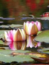 water, lillies