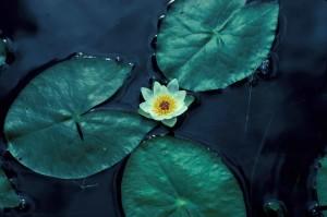 물, 백합, 꽃, nelumbo, lutea의 미국, 로터스