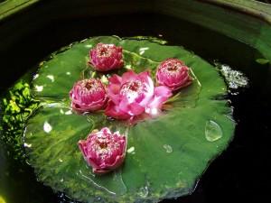 eau, lis, lotus, fleur