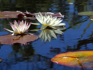 eau, lis, lotus, fleurs, plantes