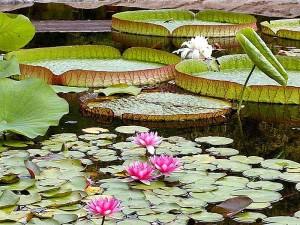 vody lily, podložky, rybníky