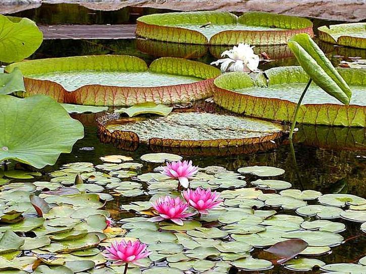 eau, lis, protections, étangs