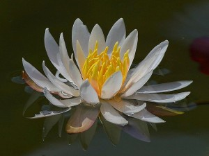 waterlilly, Waterlillies, acqua
