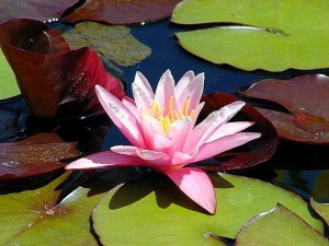waterlily, lilies, flower