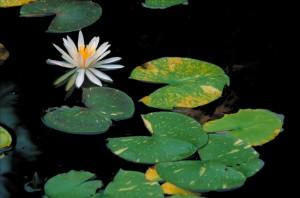 bianco, acqua, giglio, fragrante, acqua, giglio, fiore, ninfei, odorata, fiore, foglie, galleggiante, acqua