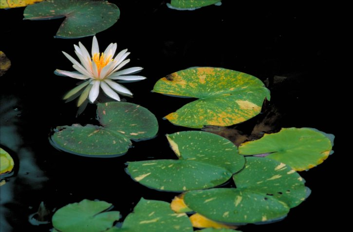 white, water, lily, fragrant, water, lily, flower, nymphaea, odorata, blossom, leaves, floating, water