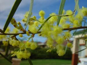 Wattle, çiçeği, yakın, sarımsı bitkisel