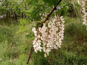 white, acacia, flowers