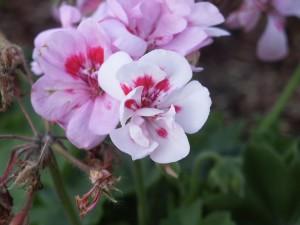 fleurs blanches, rouges