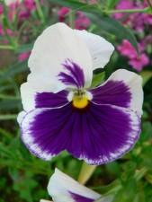 white, violet, flower