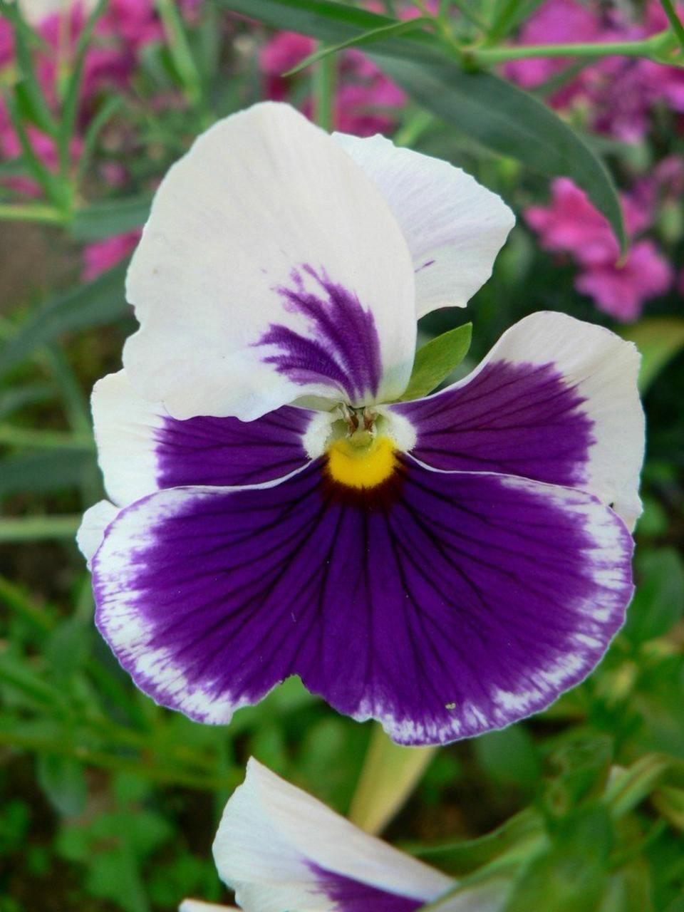 Free picture white violet flower white violet flower mightylinksfo