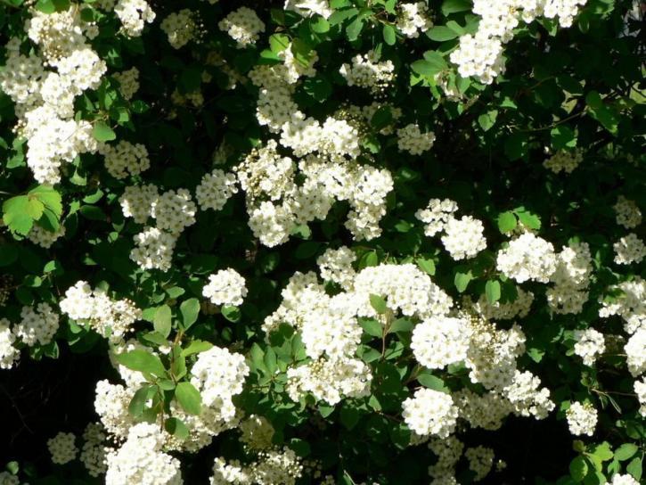 Kostenlose Bild: weiße Blumen, Busch, Blumen, Baum, Sommer