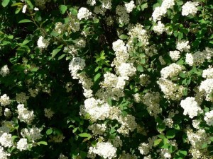 white, bush, flowers, tree