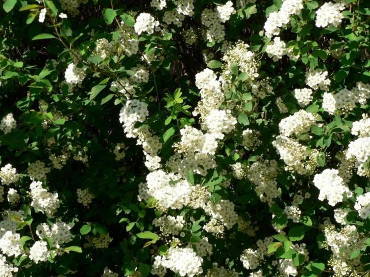 Kostenlose Bild: weiß, busch, blumen, baum