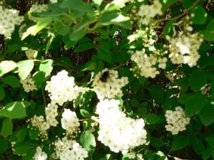 white, bush, flowers, bee