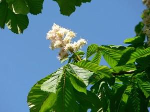 white, chestnut, tree, flowers