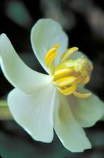 blanc fleuri, mayapple, plante, fleur, podophylle, peltatum