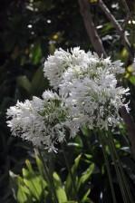 fleurs blanches, parc