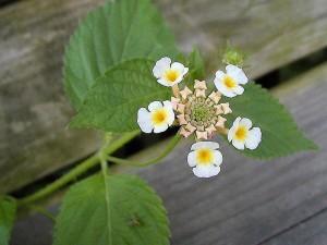 white flowers, macros, leaves