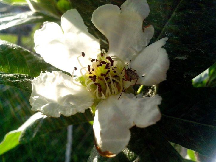 white, medlar, flower, close