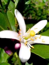 widely, opened, lemon, white flower