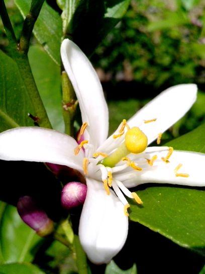largement, ouvert, citron, fleur blanche